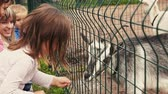 Kids feeding goat in aviary behind the green fence. Zoo. Summer day. Animal Stok Video