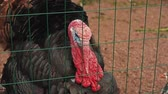 View of black turkey in aviary behind the green fence. Zoo. Animals. Summer day Stok Video