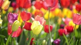 Colorful Tulips in Bloom