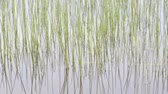 Reeds in a Pond Reflecting in the Water