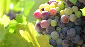 vadi : Colorful Grapes on the Vine Stok Video