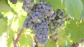 vinařství : Wine Grapes Hanging from a Vine Blowing in the Wind