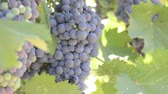 enology : Red Grapes on the Vine Stock Footage