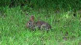 zając : Bunny rabbit in the wild