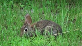 zając : Small bunny in the wild closeup  Wideo