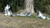 macaco : Lemurs playing around the tree