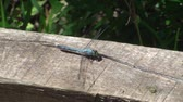 percevejo : Dragonfly on a post