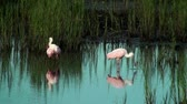 santuário : Beautiful Spoonbills in the shallow water