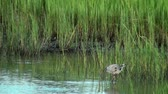 poste : Great Blue Heron hunting in the shallow water