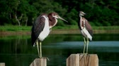 poste : Two young Herons preening and pooping