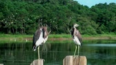 poste : Two young Herons on a post in the marsh