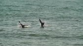 Two pelicans diving for food