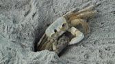 pençe : Ghost Crab removing sand from his hole