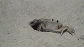 pençe : Ghost crab returning to his hole Stok Video