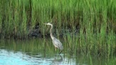 Great Blue Heron standing in the marsh