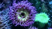 picar : Sea anemone Stock Footage