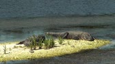 рептилия : Two American Alligators Catching Some Sun