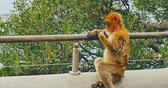 macaco : Barbary macaque from Gibraltar