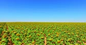 b roll : Sunflower field under blue sky