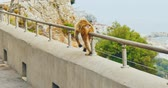 steady shot : Walking Barbary Macaque