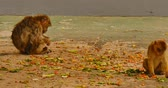 steady shot : Barbary macaque on Gibraltar