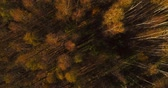b roll : Orange forest in autumn