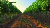 b roll : Grapes harvest - wine ingredients Stock Footage