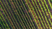 vinho tinto : Aerial agriculture background Stock Footage
