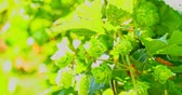 agronomia : Green fresh hop cones on branch. Ingredients of making beer and bread.