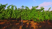 vino : Green grapes grows on branches Stock Footage