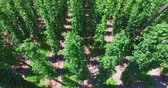 hop garden : Hop Field with Sun on Background Stock Footage