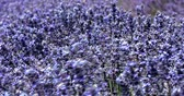 steady shot : Close view of lavender blossom in Provence in France Stock Footage