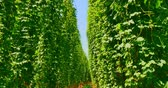 b roll : Walk through hops trees