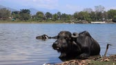 Water buffalo op Lake Pokhara, Nepal