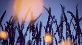 essentiel : dolly zoom in movement into the lavender grass field silhouette with warm yellow bokeh lights on foreground
