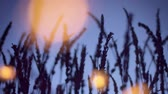 lilas : zoom changed from first plan to the background shoving lavender field silhouettes with warm yellow lights bokeh