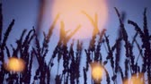 leylak : panned camera dolly lavender field silhouette with yellow warm lights on foreground. Provence lavender field at night light