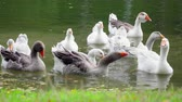 Geese at the pond at summer time