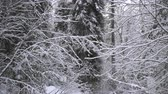 Heavy Snowfall in A Winter Forest Altai, Siberia.
