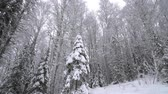 meteorology : Heavy Snowfall in A Winter Forest. Stock Footage