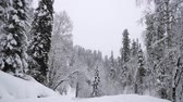 falling snow : Heavy Snowfall in A Winter Forest. Altay, Siberia.