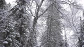 wintertime : Tree in a Forest in Winter with Falling Snow