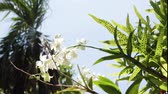 springtime : White flowers in the public park of tropical Bali island, Indonesia. Macro HD 1080p.
