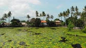 flor de loto : BALI, INDONESIA - DECEMBER 7, 2018: Stunning aerial drone video of Lake and field of Lotus on a tropical island Bali.