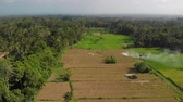 Green background. 4K flying drone video of rice field on Bali island. Green and yellow landscape. Rice farm, grass, nature. Vidéos Libres De Droits