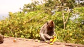 simio : Funny monkey cleans banana in a rainforest of Bali island. Archivo de Video