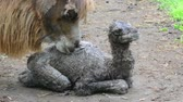 urge : First hour of a Bactrian camel Camelus bactrianus baby