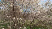 cherry blossom branch : Spring white flowers of a cherry tree. The camera moves close-up view Stock Footage