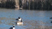ailelerin : Warm autumn day a flock of geese swims and frolic on a small lake Stok Video