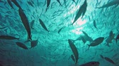 translúcido : Huge schools of fusiliers and mackerels in the light-flooded ocean
